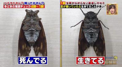 ハナタカ優越館907セミ.jpg